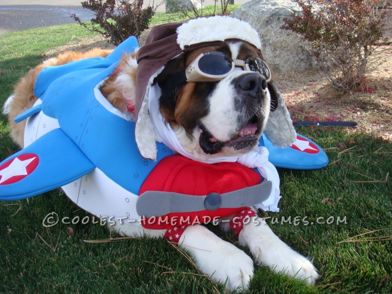 Saint Bernard Dog Costume: Captain America to the Rescue!