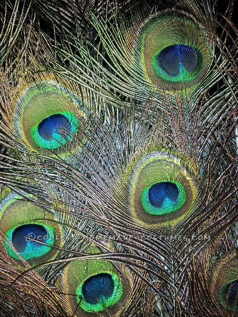 Majestic Peacock Costume