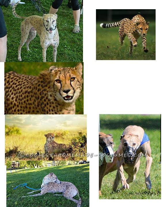 BAM our Dog Transformed into a Cheetah