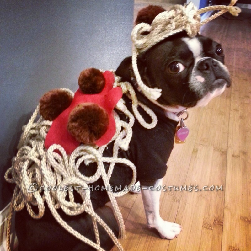 "Maddie the Boston Terrier as ""Spaghetti & Meatballs"""