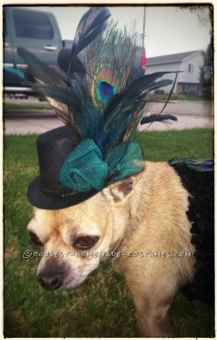 How to Turn Your Chihuahua into a Peacock for Halloween