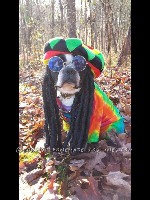 Pablo the Boston Terriers tribute to Bob Marley