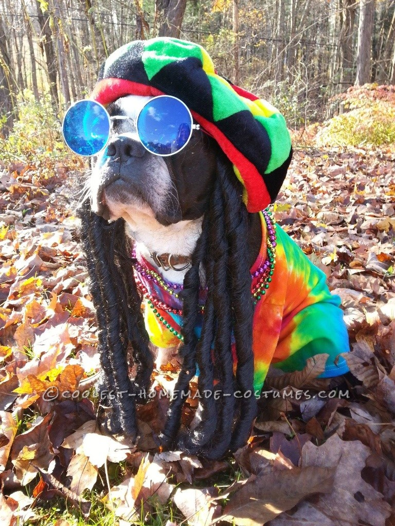 Rasta Dog Costume: Pablo the Boston Terrier Does Bob Marley