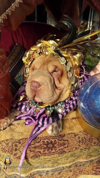 Fortune Teller Dog Costume for our Miniature Shar Pei